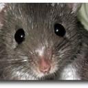 Ratón espinoso