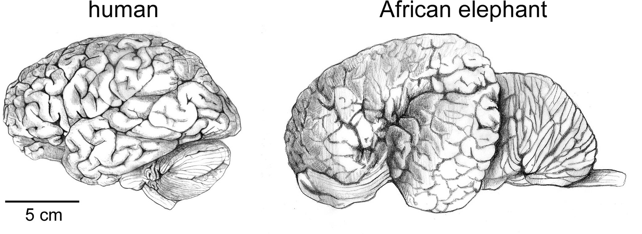 El cerebro humano es el de un primate normal – Tercera Cultura