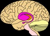 """Striatum"". En morado, ""Caudate"" y ""Putamen"". En naranja, ""Thalamus"". Fuente: Wikipedia"
