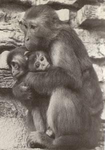 Sobre las chimpancés